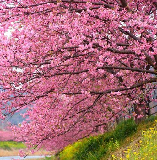 Pink Cherry Tree.JPG