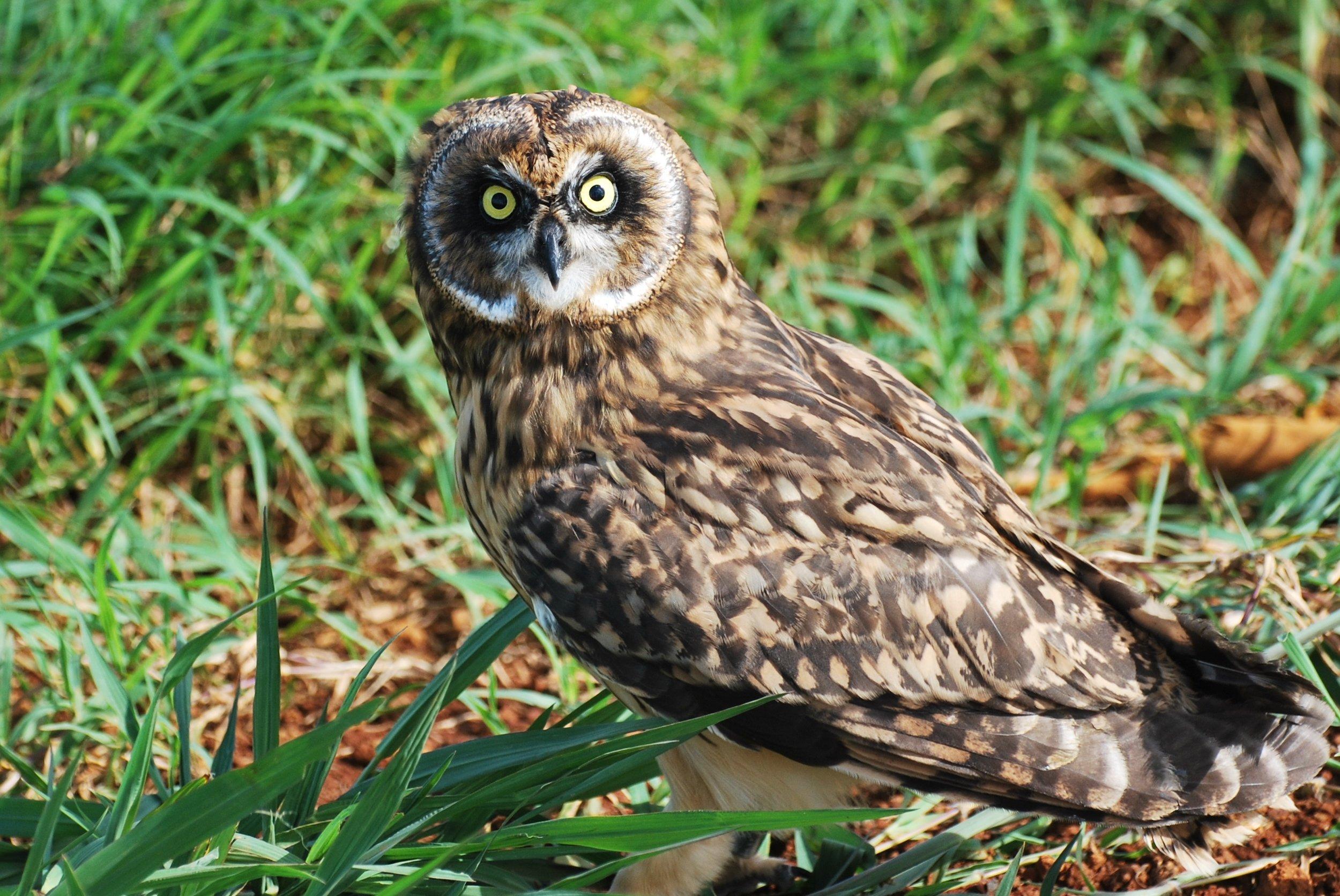 Hawaiian Short-eared Owl/Pueo