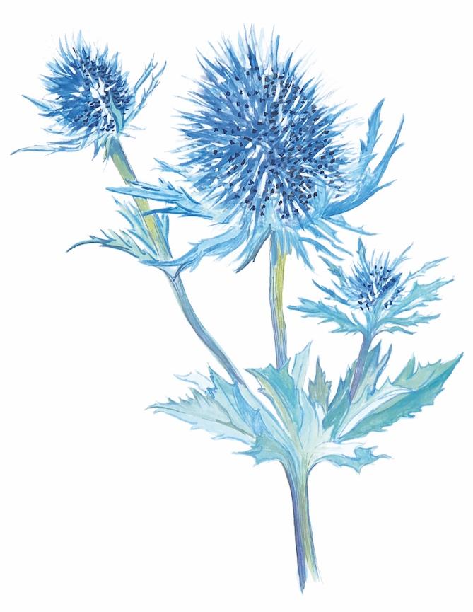 Blue thistle 1000.jpg