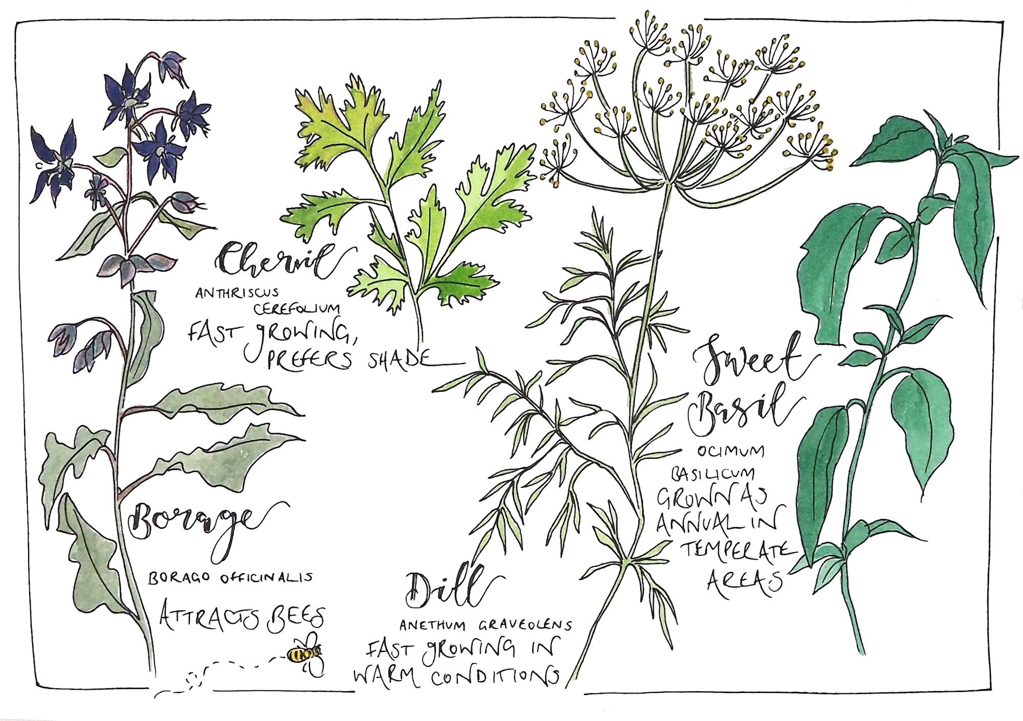 TEST Herb doodle.jpg