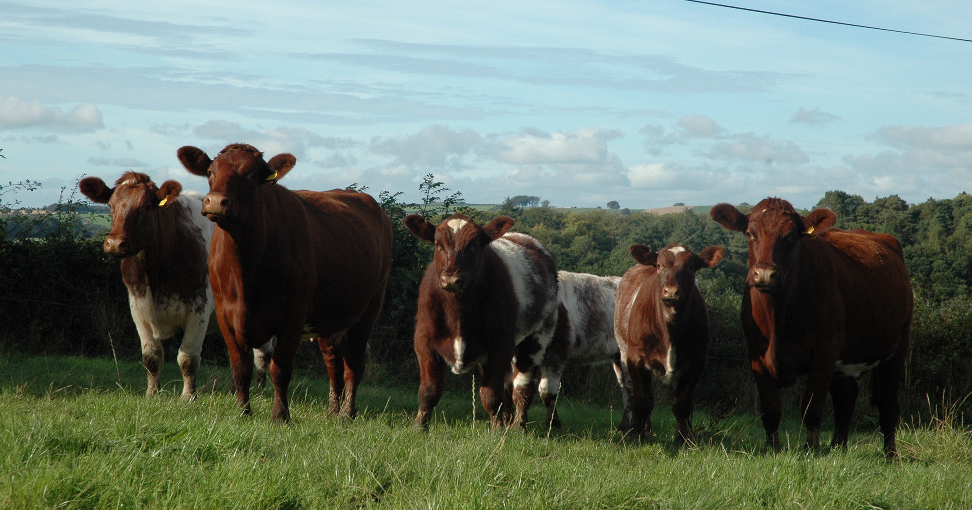 Millerston cows with five month-old calves by Meonhill Charlie Chaplin