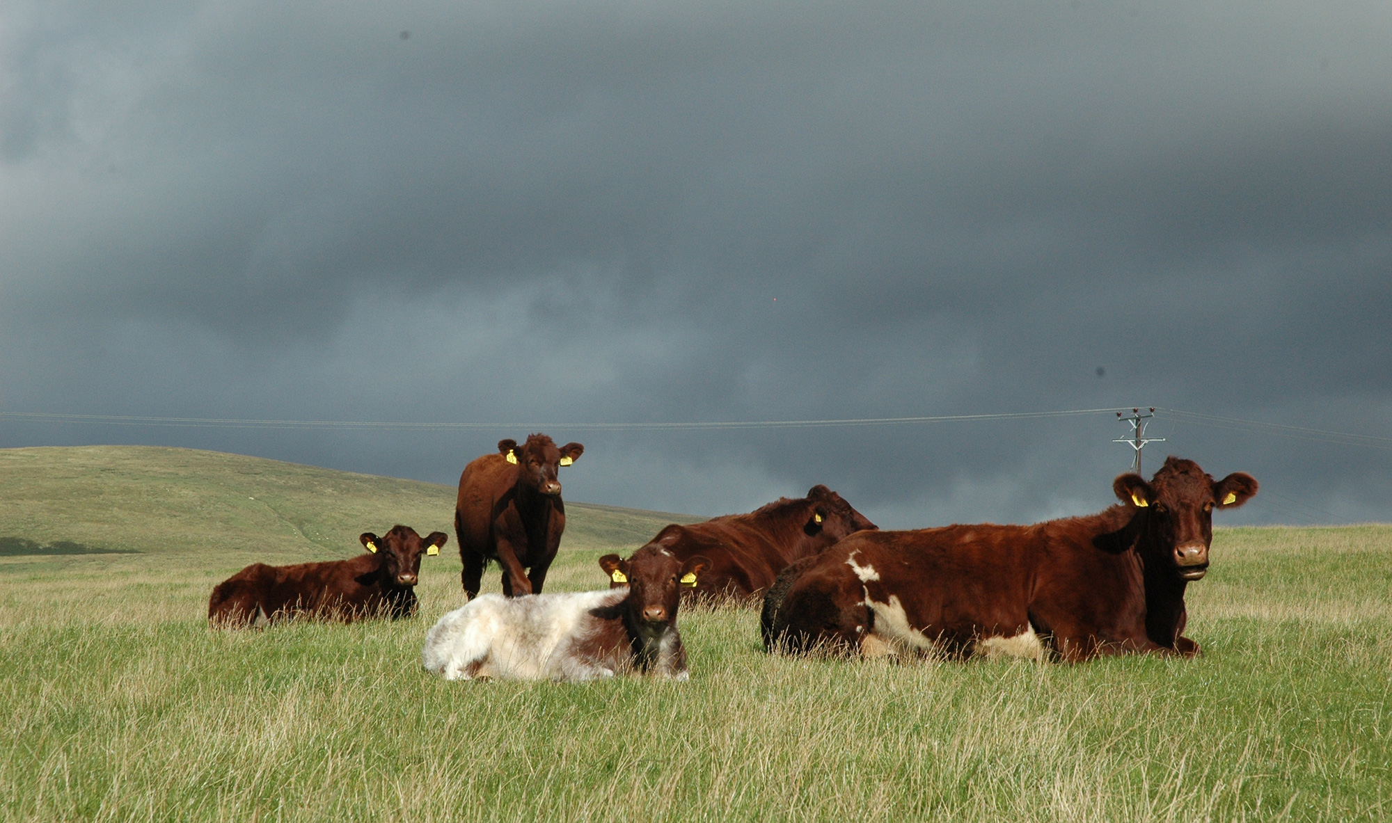 Knockenjig females with their six-month-old calves
