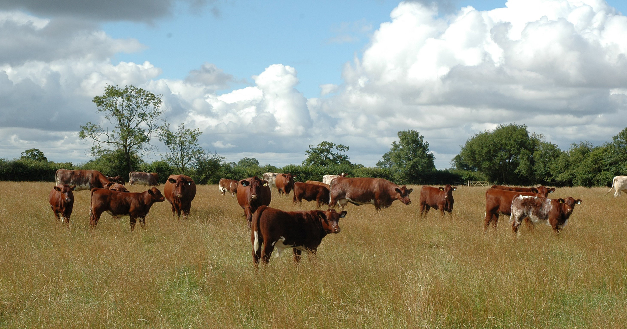 The Kislingbury herd thriving on a low input forage based system