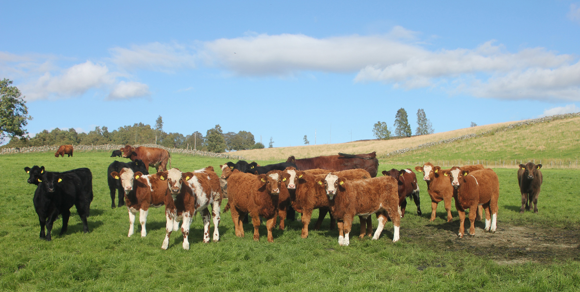 Balnabroich Team C, five-month-old Simmental cross calves out of Beef Shorthorn cross Highland dams