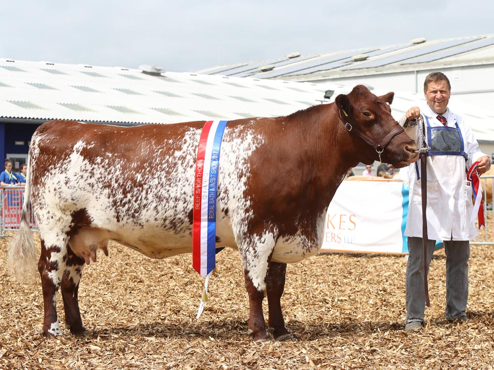 Female and show champion at the Royal Bath and West Show, Ury Maid X841 of Upsall