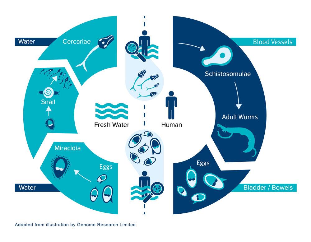 schistosomiasis life cycle