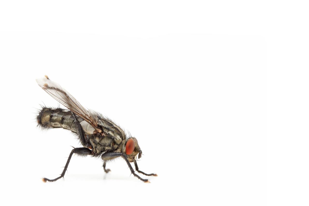 Flesh-fly   Sarcophaga carnaria