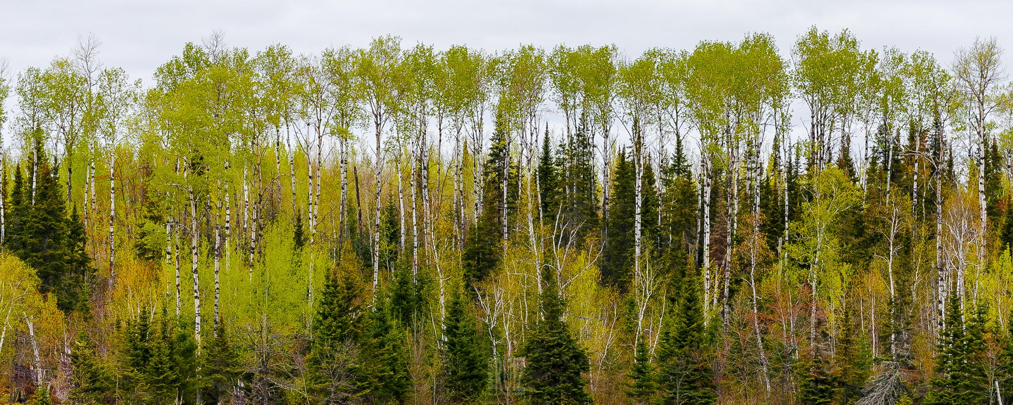 BWCAW Spring Foliage / Ernesto Ruiz