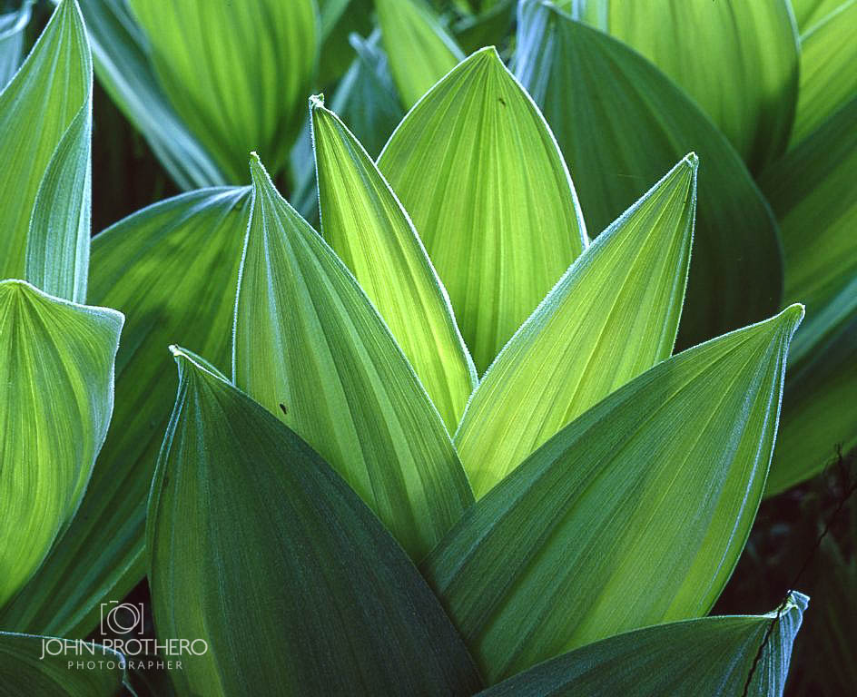 Corn Lily Leaves / John Prothero / Mamiya RB67 medium format camera