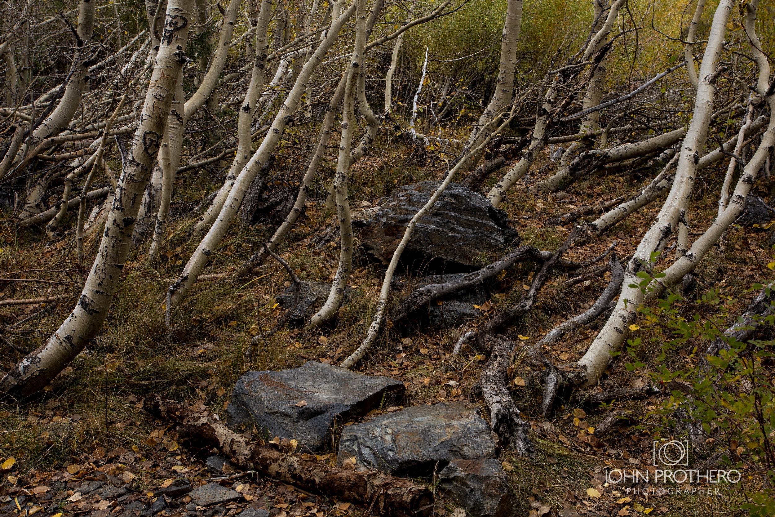 Aspen Grove / John Prothero / Canon EOS 6D