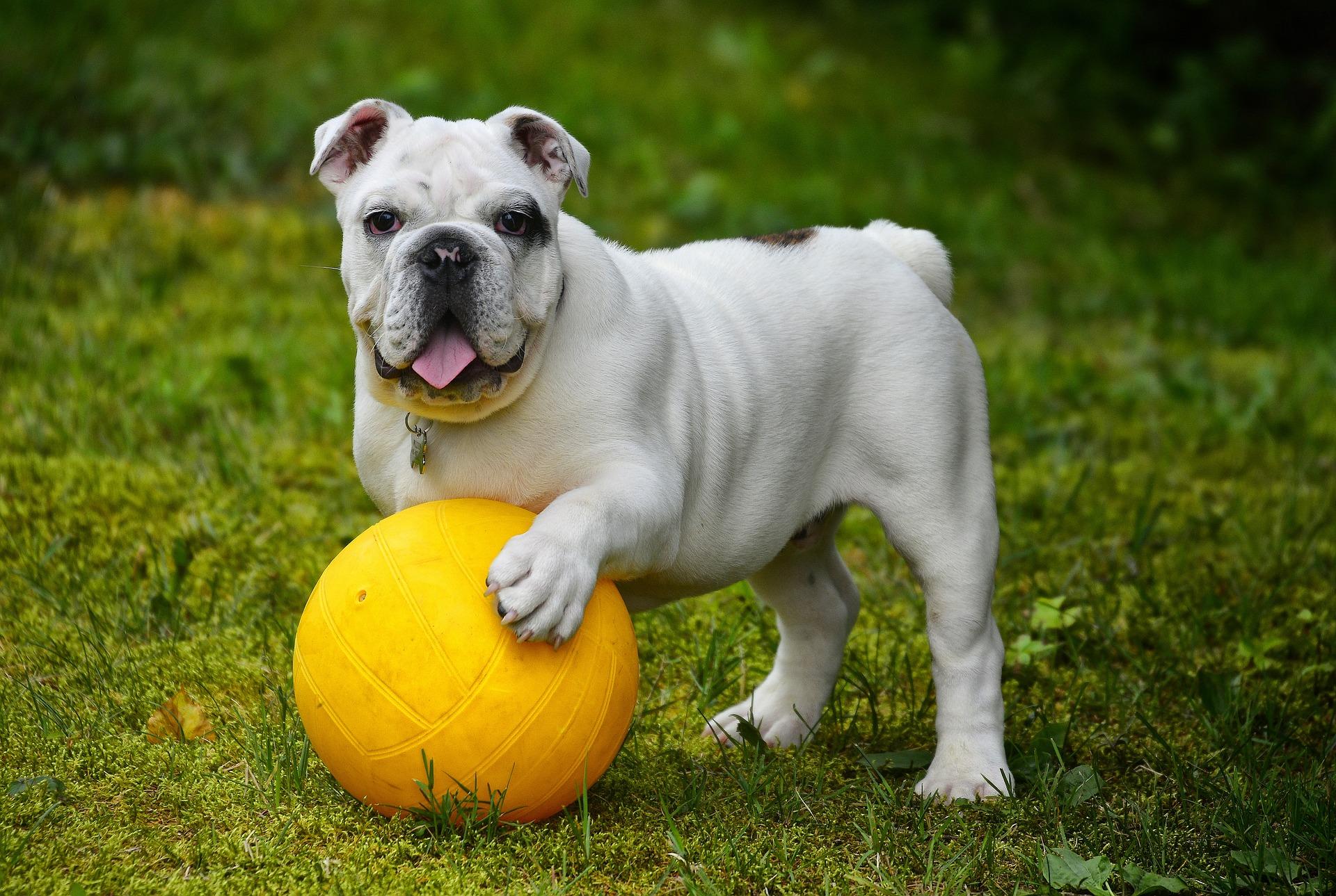 english-bulldog-562723_1920.jpg