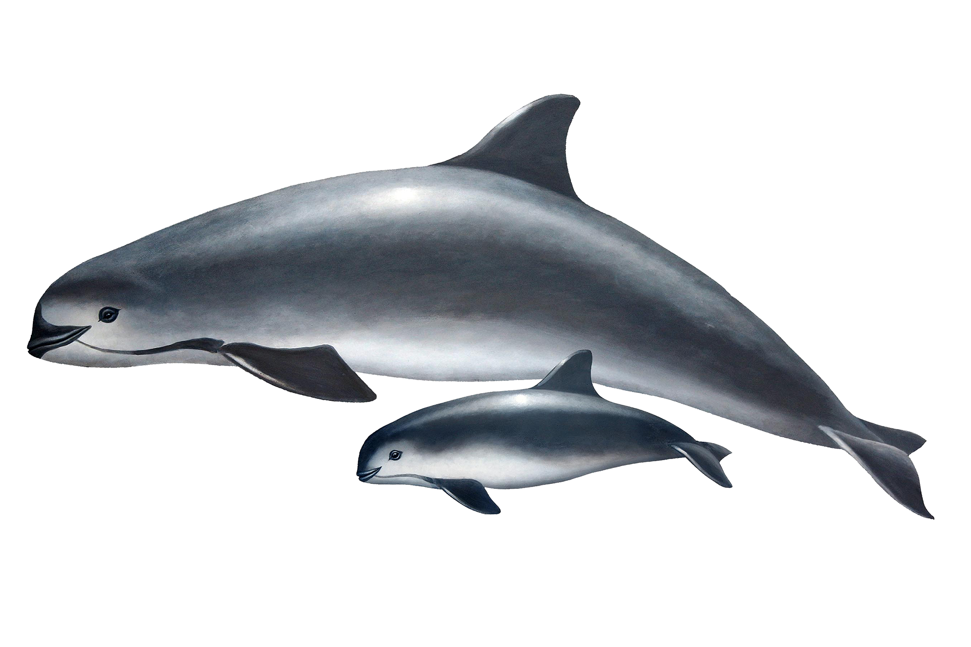 Vaquita-group.png