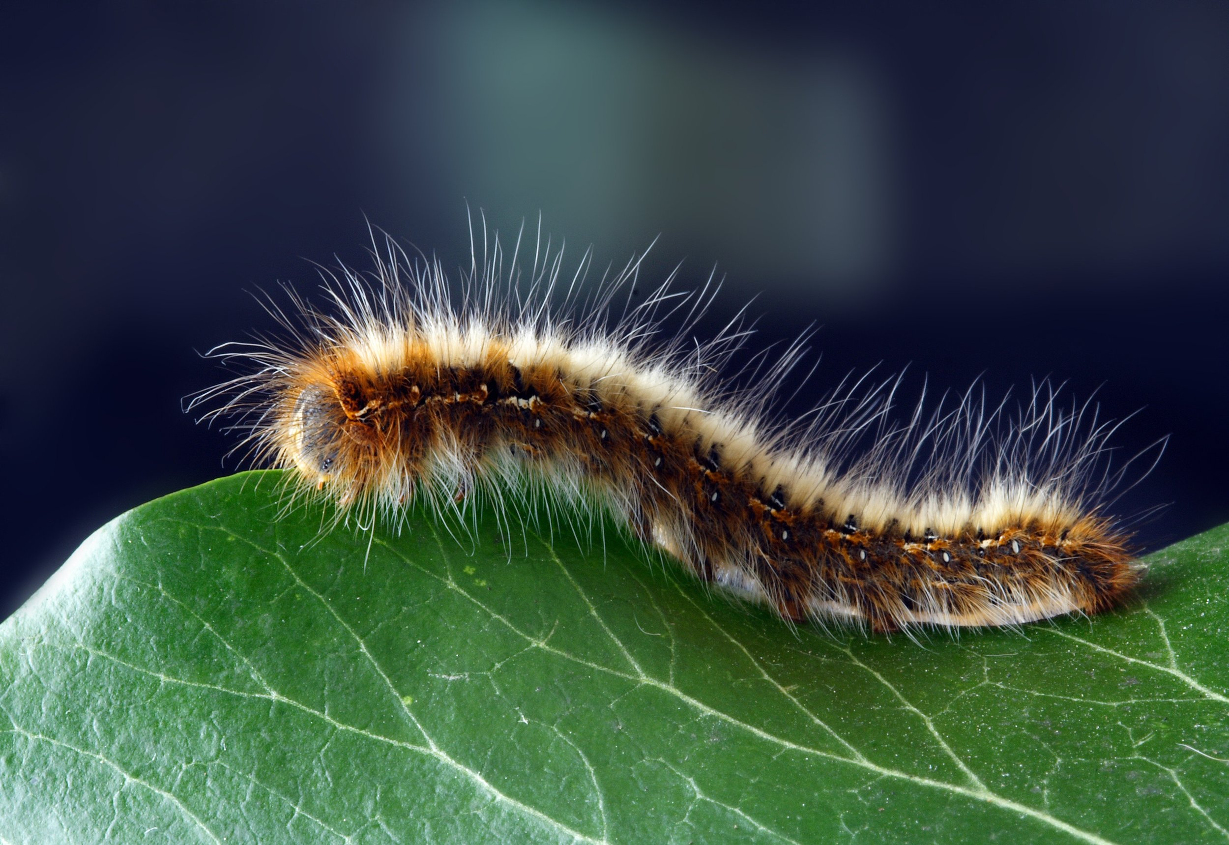 caterpillar-close-up-hairy-219938.jpg