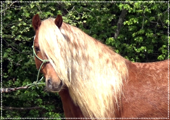 Willie Nelson, 2014 Haflinger Gelding - What a looker with all the hair and the flair. He is broke to ride and drive. Perfect size for kids and adults to enjoy. Enrolled in my Ultimate Trail Horse Finishing Program.