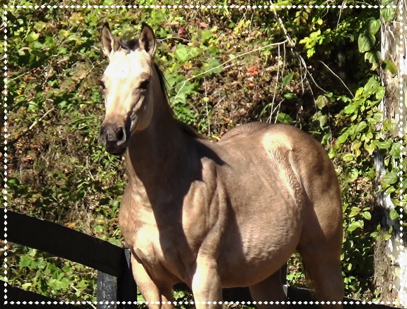 Steel A Queen, 2018 AQHA Filly - Full sibling due Spring 2019. Can be reserved now. Beautiful Buckskin AQHA Filly. Sired by White Steel and out of Rocka Bye Baby. Lines to Poco Bueno, Doc Bar and Colonel Freckles.