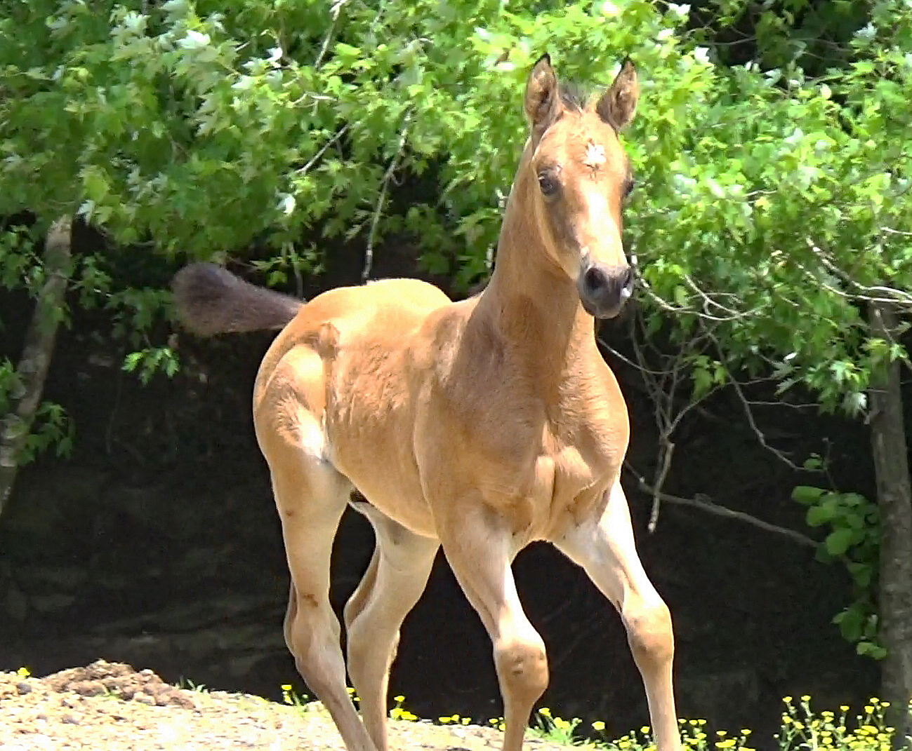 Steel Dust DH, 2019 Half Arabian Colt - This buckskin beauty has the good looks and great mind that we all love. He is pretty, correct and a good mover. He is a natural for the Western, Ranch and Trail classes that are getting so popular.