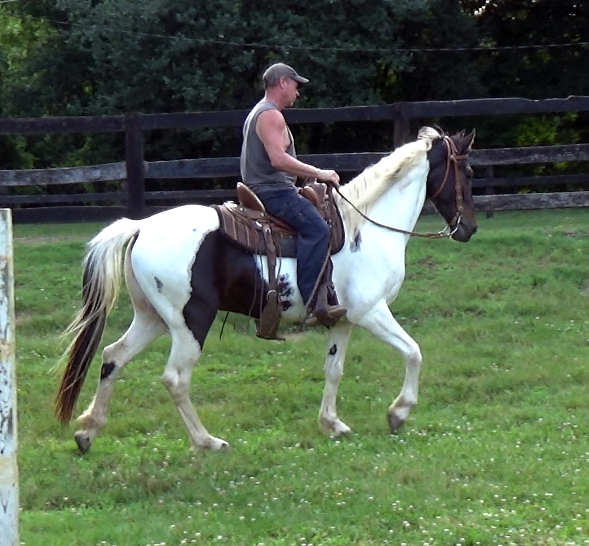 Ozarks Big Alvin, Reg Pinto Gelding - Alvin is a big, tall and fancy guy. He is sired by a Missouri Fox Trotter and out of a Spotted Saddle mare. He has been ridding on the trails and out on the farm by experienced youth riders. Smart and friendly boy, loves attention.