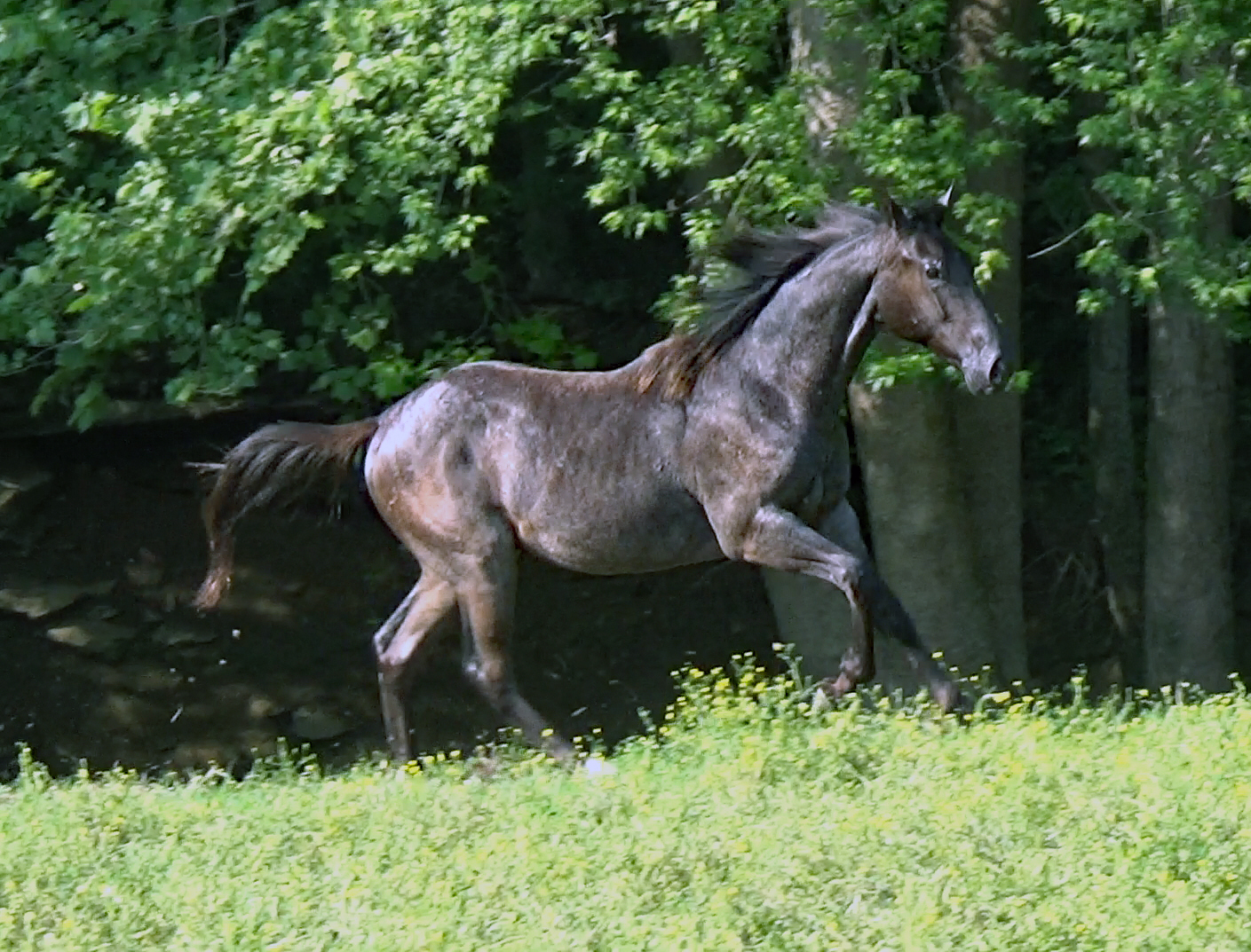 Blue roan colt (8).Movie_SnapshotA.jpg