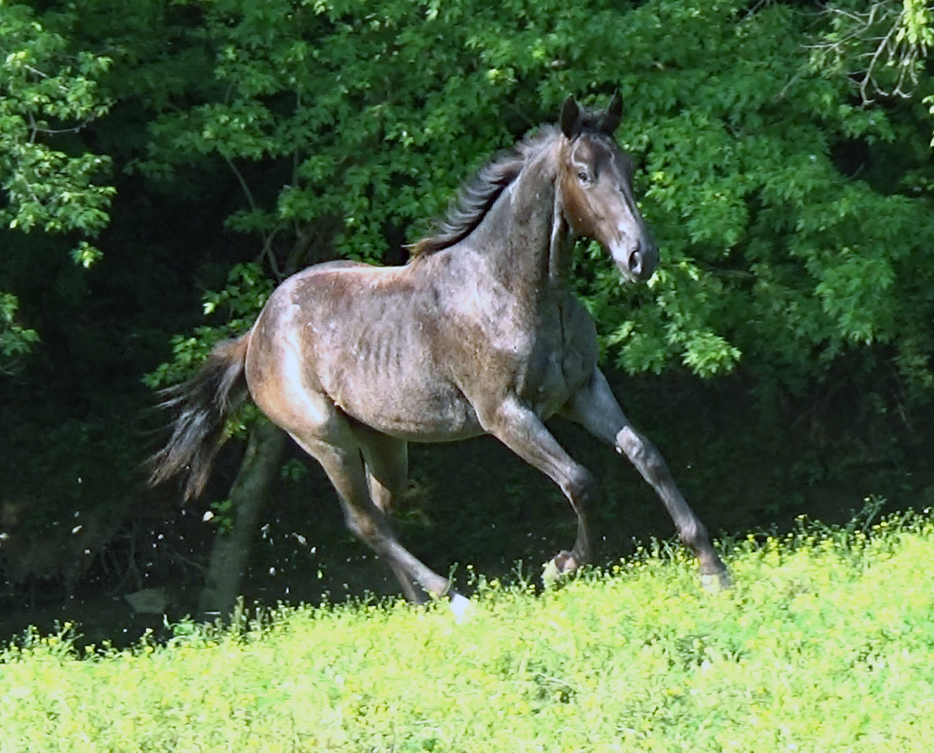 Blue roan colt (11).Movie_SnapshotA.jpg