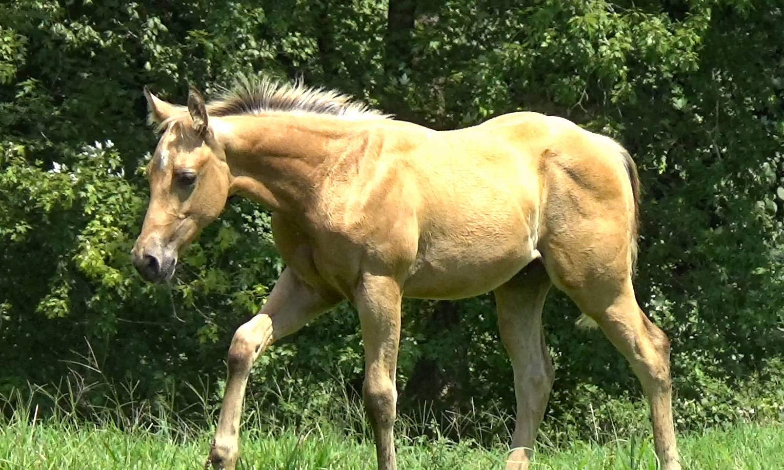 Steel N Starlite, 2019 AQHA Colt - This colt is athletic and agile and as sweet as can be. He has the great buckskin color to highlight his beautiful build. Refined in the head and neck, pretty face and already showing a lot of muscle. He will be a great working western and ranch horse. Great pedigree with Poco, Greys Starlight, Reminic, Smart Little Lena and Doc Bar.