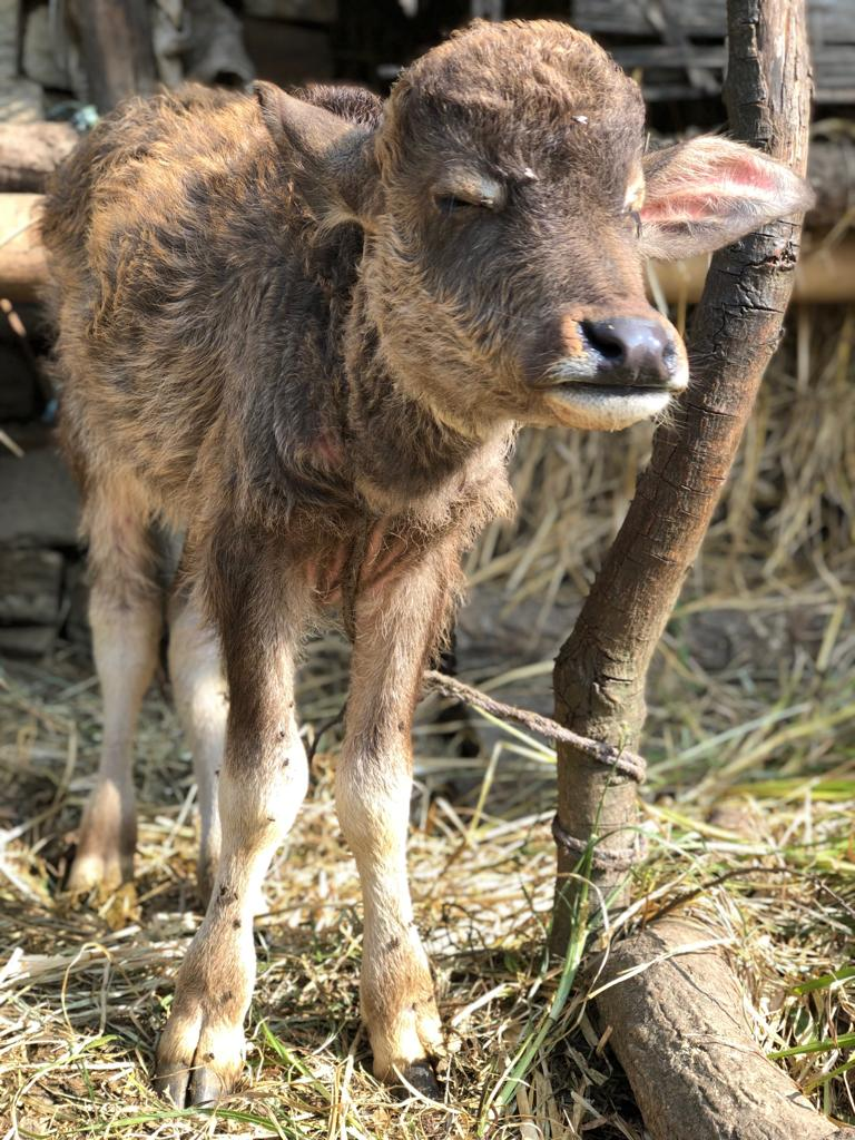 I didn't take a picture of the dog, so here's a picture of a baby cow.
