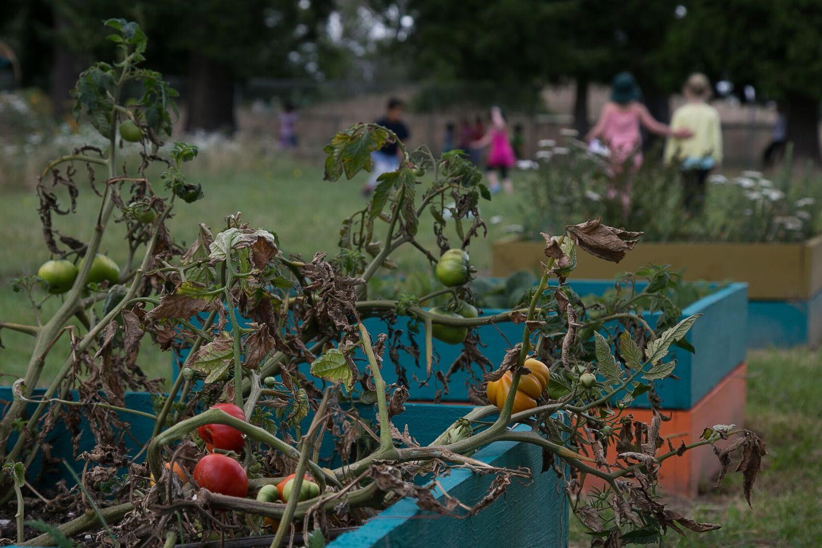 tomatoes-ses-garden-boxes.jpg