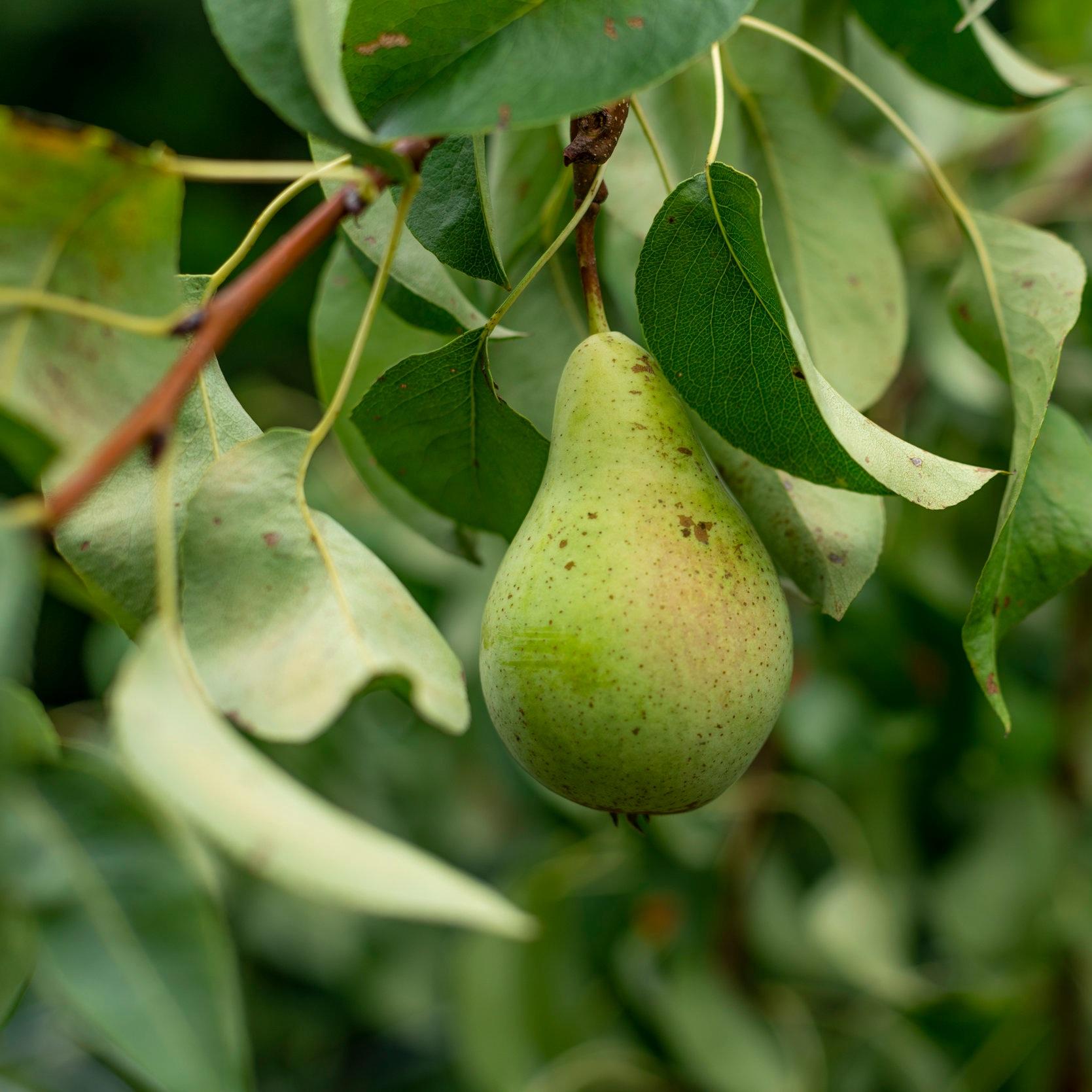 Community Fruit Harvesting Wairarapa