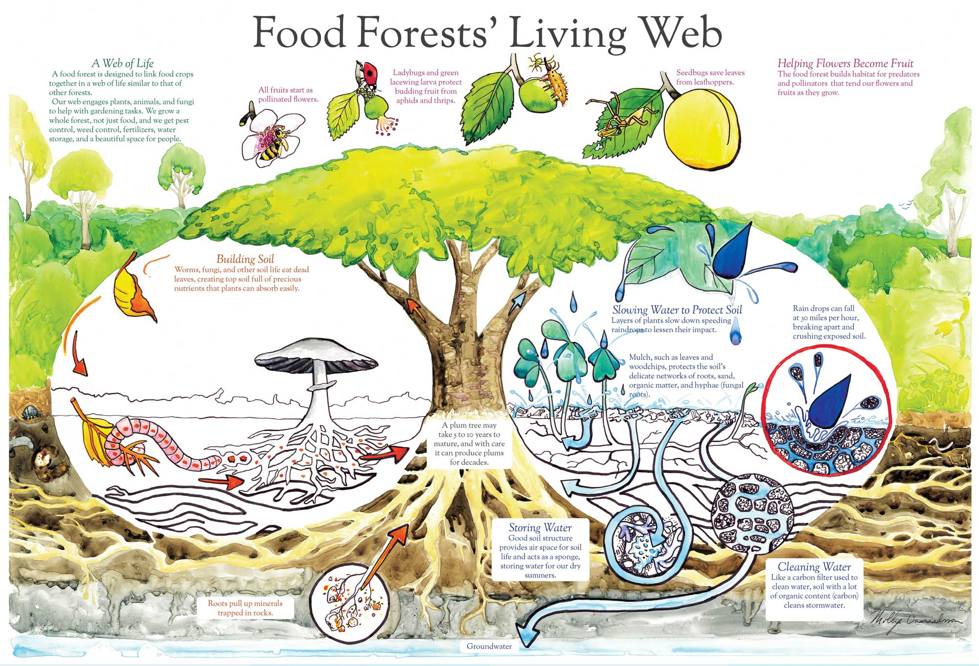 Forest gardens are probably the world's oldest form of land use and most resilient agroecosystem. - A food forest, also called a forest garden, is a diverse planting of edible plants that attempts to mimic the ecosystems and patterns found in nature. Food forests are three dimensional designs, with life extending in all directions – up, down, and out.