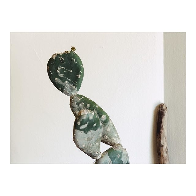 This morning I looked at my paddle cactus and audibly gasped - suddenly, there was new growth! This cactus hasn't grown in the year I've had it. Actually, I thought it was sick — white powdery stuff had developed on the surface and one of the paddles got a little wrinkly. But I've been rotating it, watering it appropriately, talking to it every morning. Just two days ago I watered it and it looked the same as it always had. Then this morning, fresh growth. 🌵🌱💥 It made me think of all the ways this happens in life - slowly nurturing something, unsure how things will progress, hoping for the best. Then suddenly, something happens that makes you realize life has been bubbling under the surface and growth has been happening all along. Sometimes growth is so gradual it's hard to see until it literally pops out on the surface. The pace can't be forced, it must happen on one's own time, in one's own way. Thank you, sweet cactus, for this reminder today. (Side note — what should I do about the powdery stuff? Is it a fungus?) . . . . . #cactusmedicine #cactus #acupuncture #herbalmedicine #plantmedicine #gratitude #moonmagic #bossbabe #wellnesscoach #healthcoach