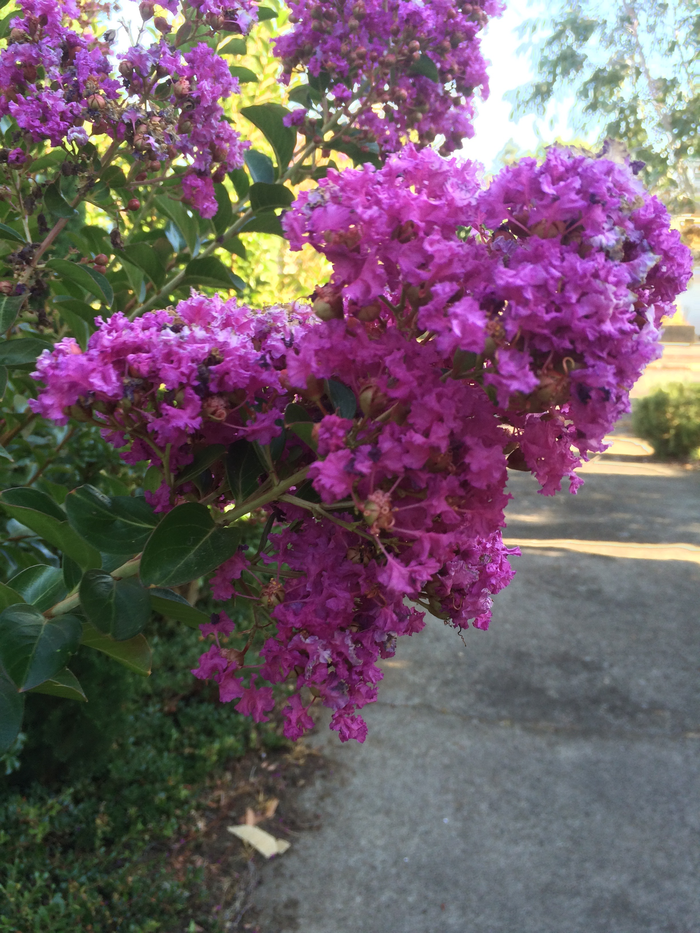 Crepe Myrtle Zuni - Lagerstroemia — Aldgate Tree Farm
