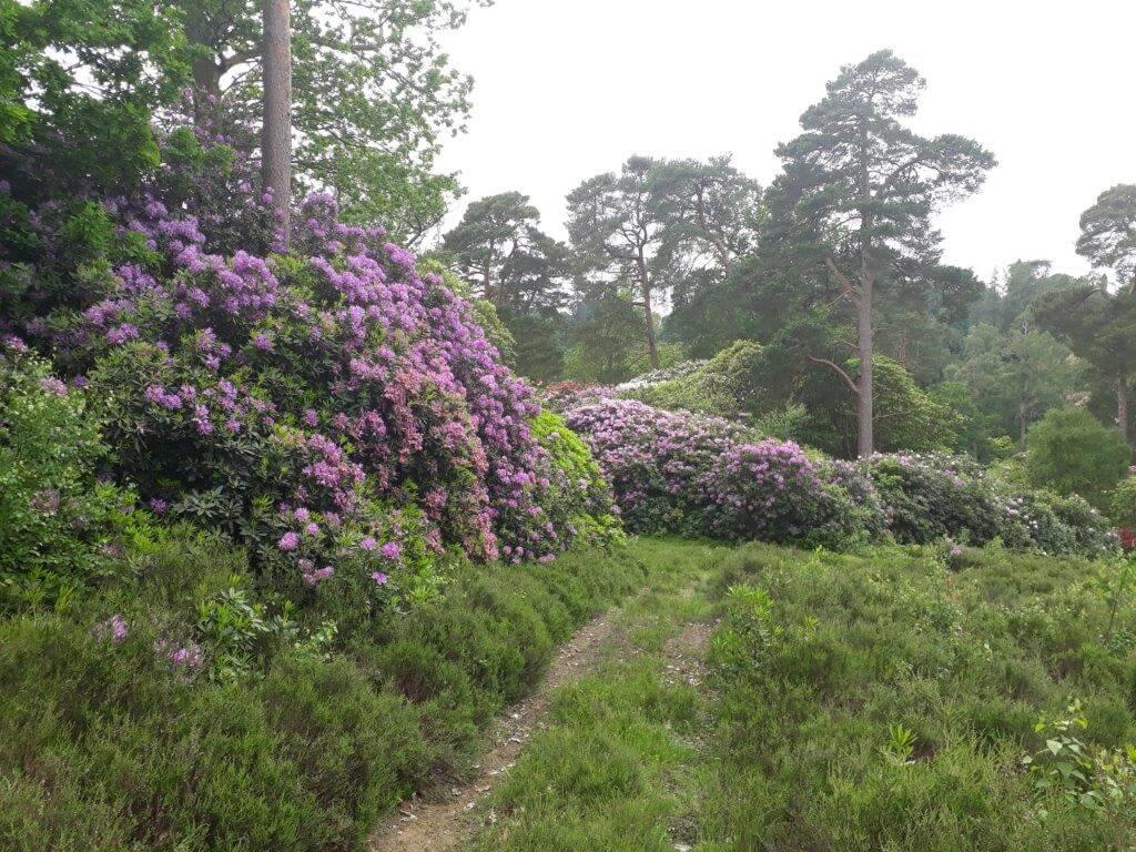 Rhododendron Ponticum.jpg