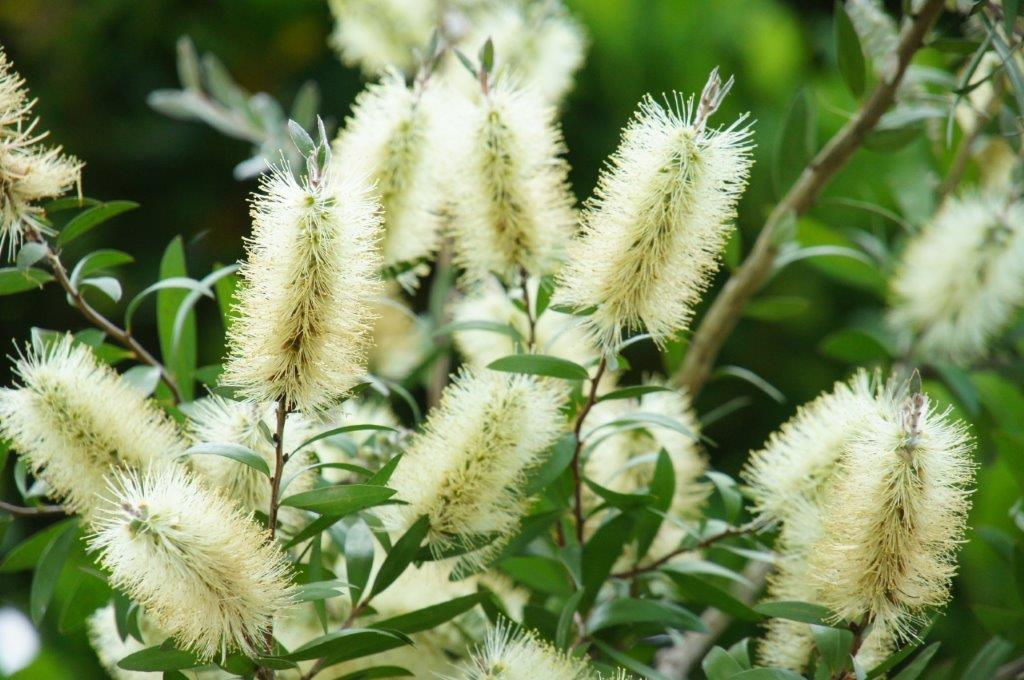Melaleuca pallida (was Callistemon pallidus) (Lemon Bottlebrush) - Photo by Alwyn Ladell
