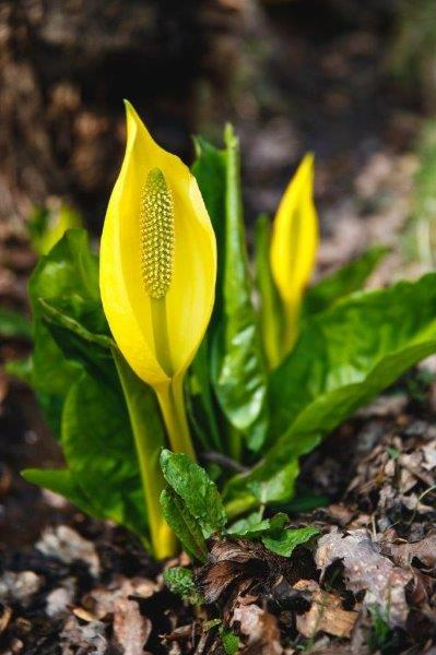 Leonardslee flower sussex
