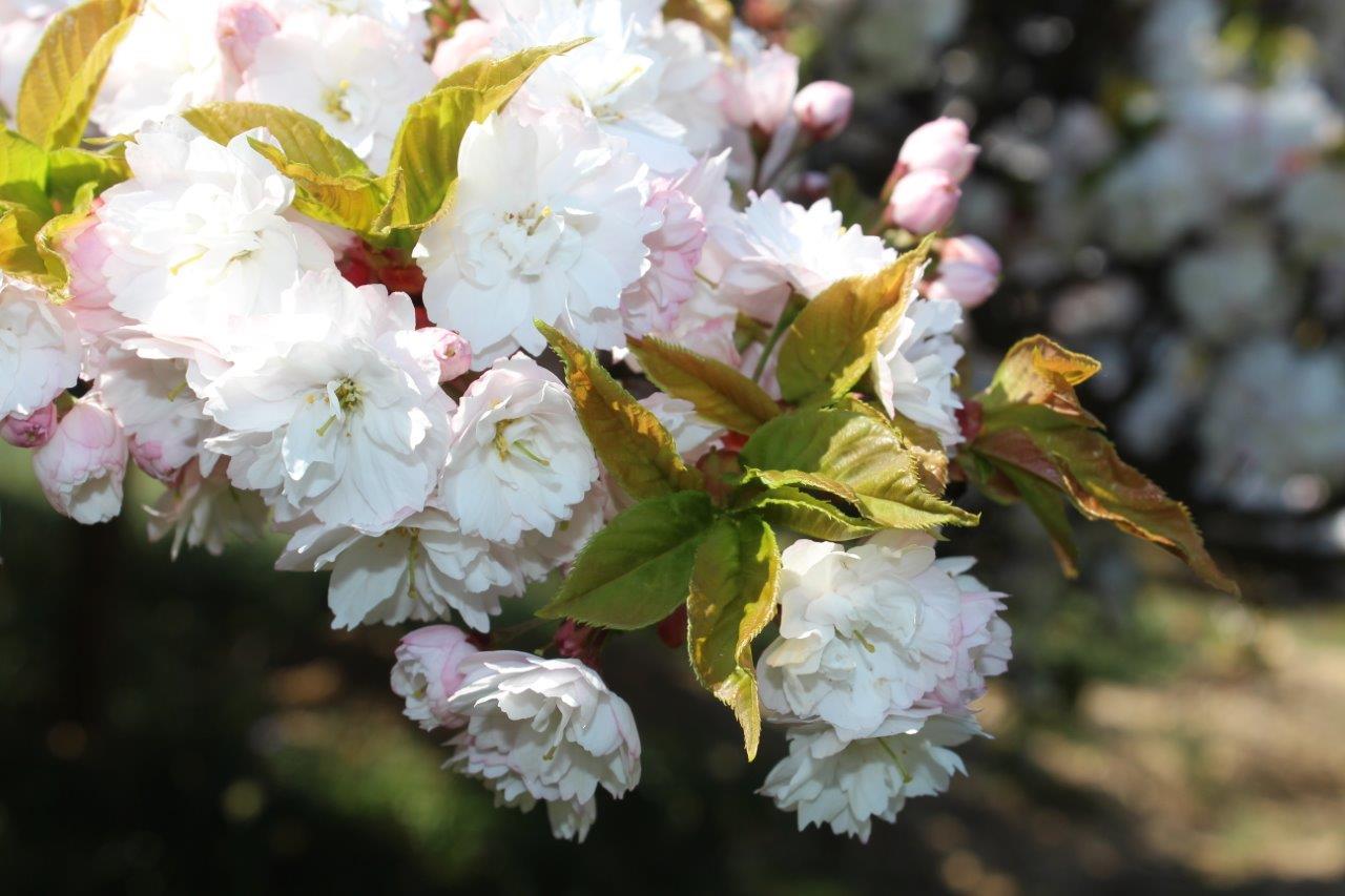 Leonardslee flowers.jpg