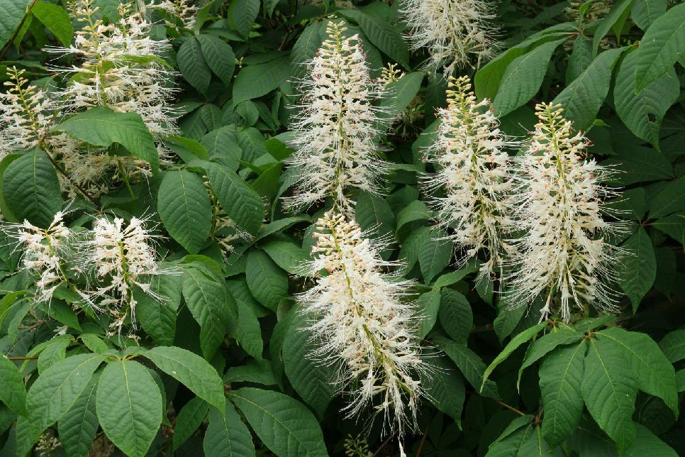 Bottlebrush buckeye ( Aesculus parviflora)