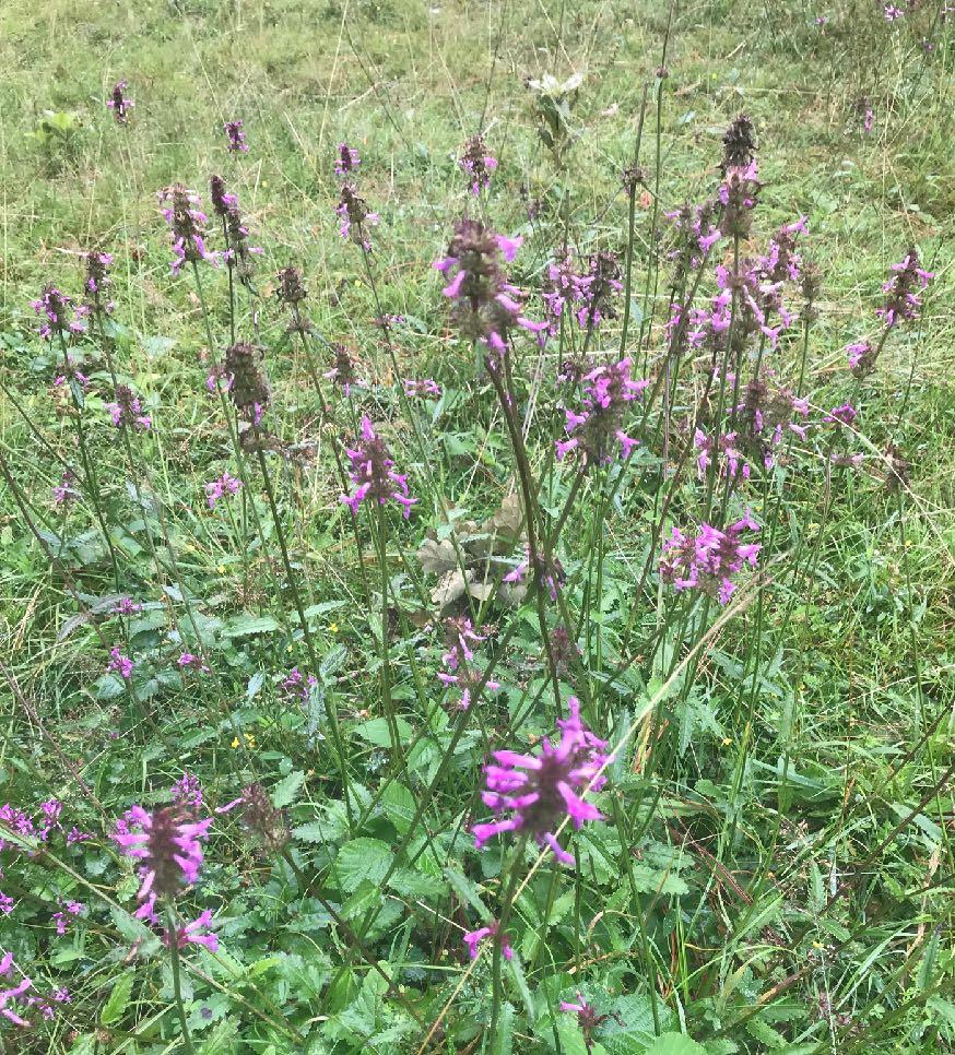 Betony ( Stachys officinalis )