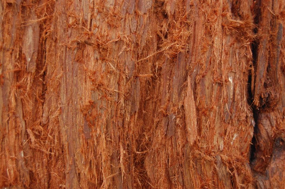 Bark on trunk of Coast Redwood (Sequoia sempervirens)