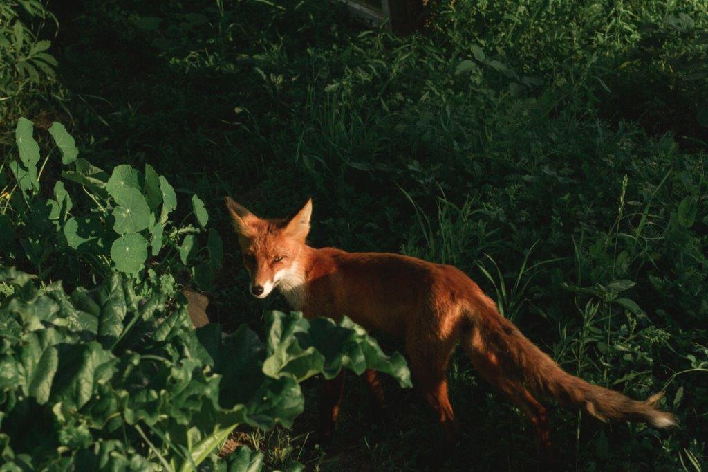 Fox Leonardslee Sussex Spring.jpg