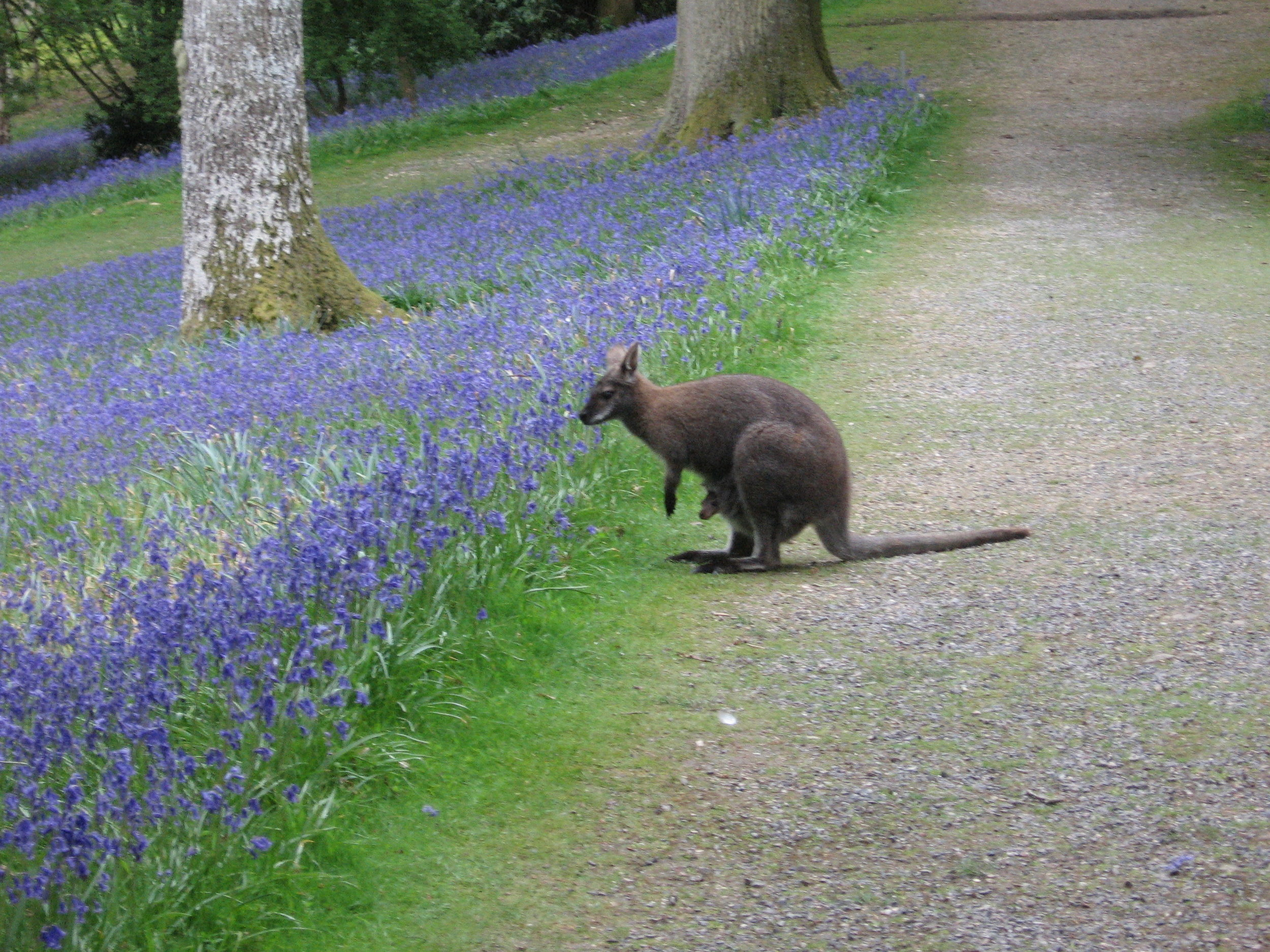 Wallaby Leoanrdslee Sussex.jpg