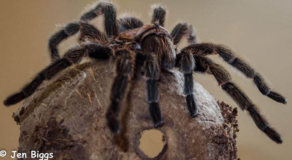 Spider Halloween West Sussex Leonardslee.JPG