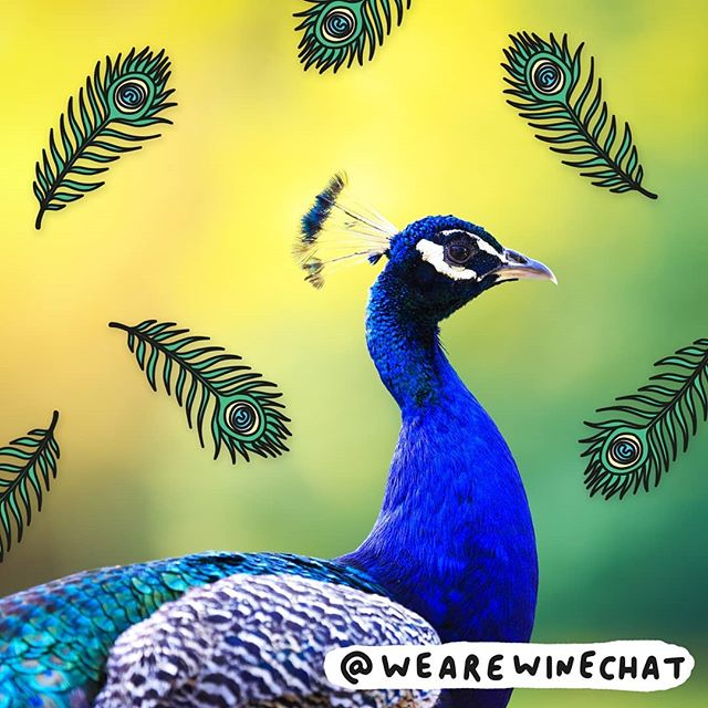 The weather is beaut 😎. This is a peacock. Peacock's are fabulous 💃. Have a fabulous weekend! 🎉 . . #wearewinechat #winechat #wine #new #winelovers #winetime #weekend #friyay #peacock #veronicadearly #illustration #weekend #sun