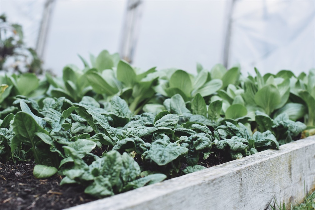 Cut and come again spinach and oak choi - healthy and inspiring crops to aspire towards…