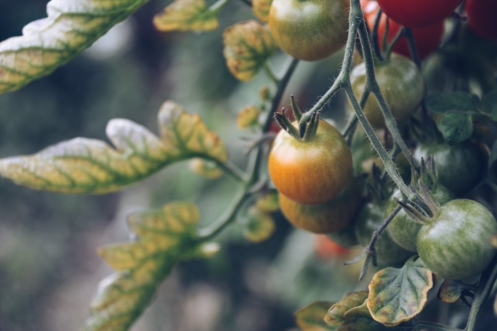 I really hope my tomatoes look like these - image taken at Green and Gorgeous last year…