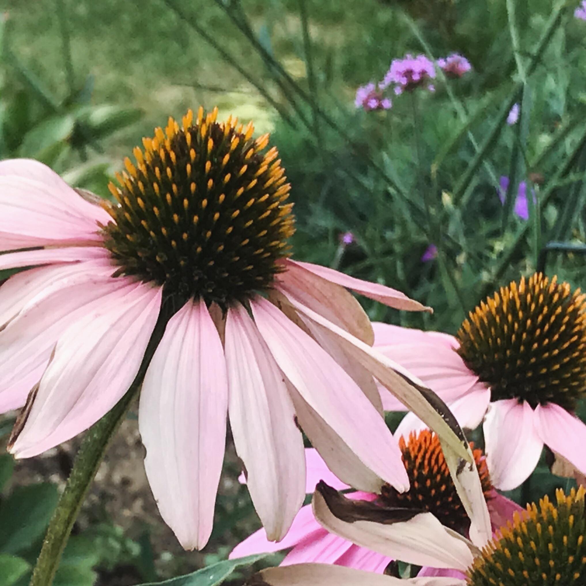 """Echinacea 'Magnus"""" (coneflower) and Verbena bonarienesis"""