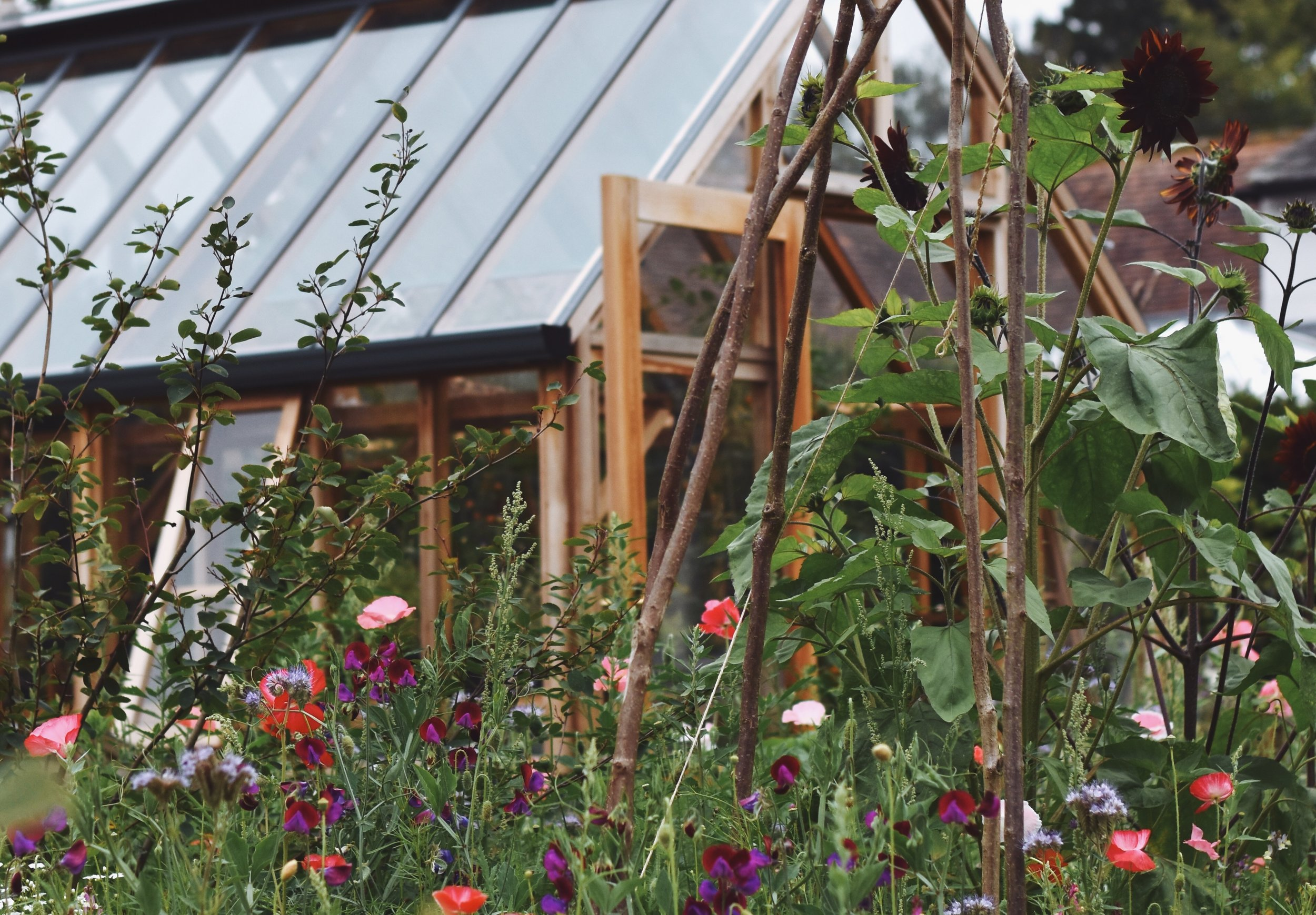 The meadow in full throttle with sweet-peas and sunflowers adding to the joy on my home-made hazel wigwams.