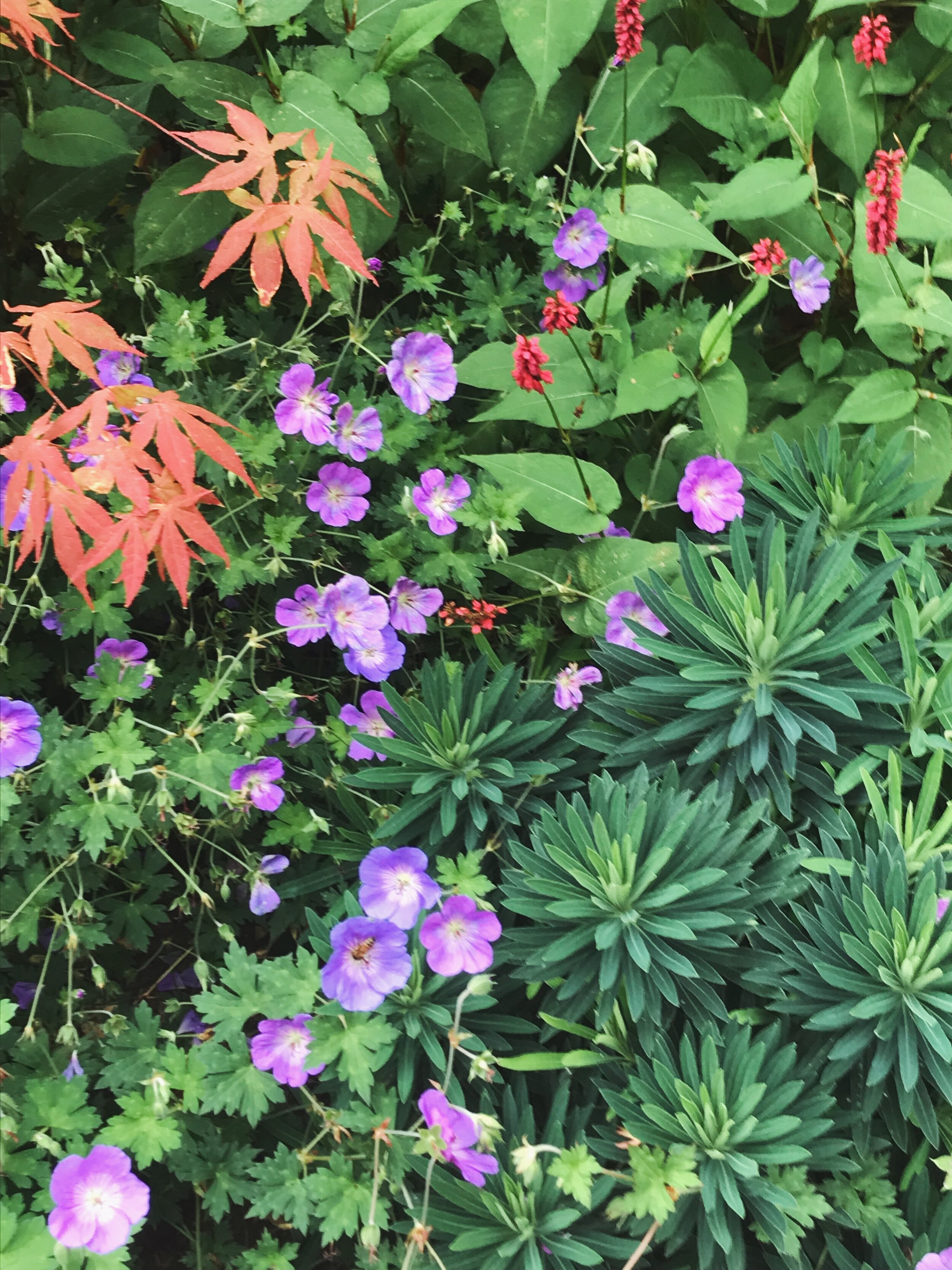 The plants were chosen to give interest over the longest possible time and for contrast of texture, form and colour. Here you see Euphorbia characias, Geranium 'Roxanne', the leaves of Acer palmatum and Persicaria 'Taurus'.