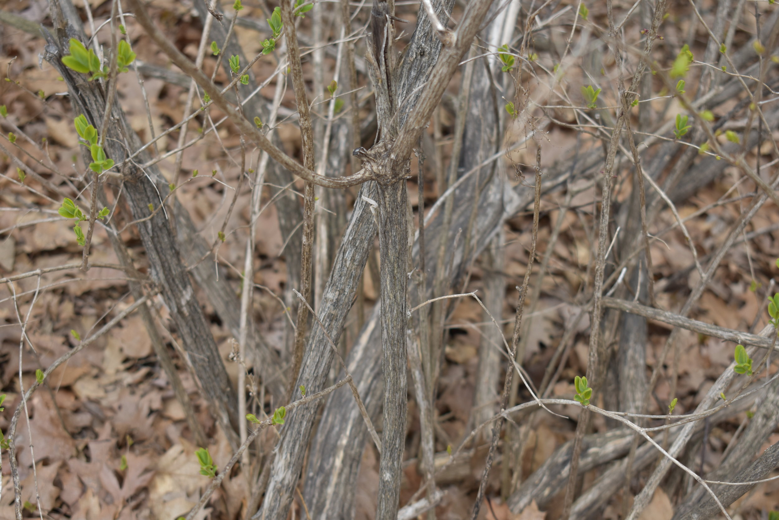 shrubby honeysuckle bark