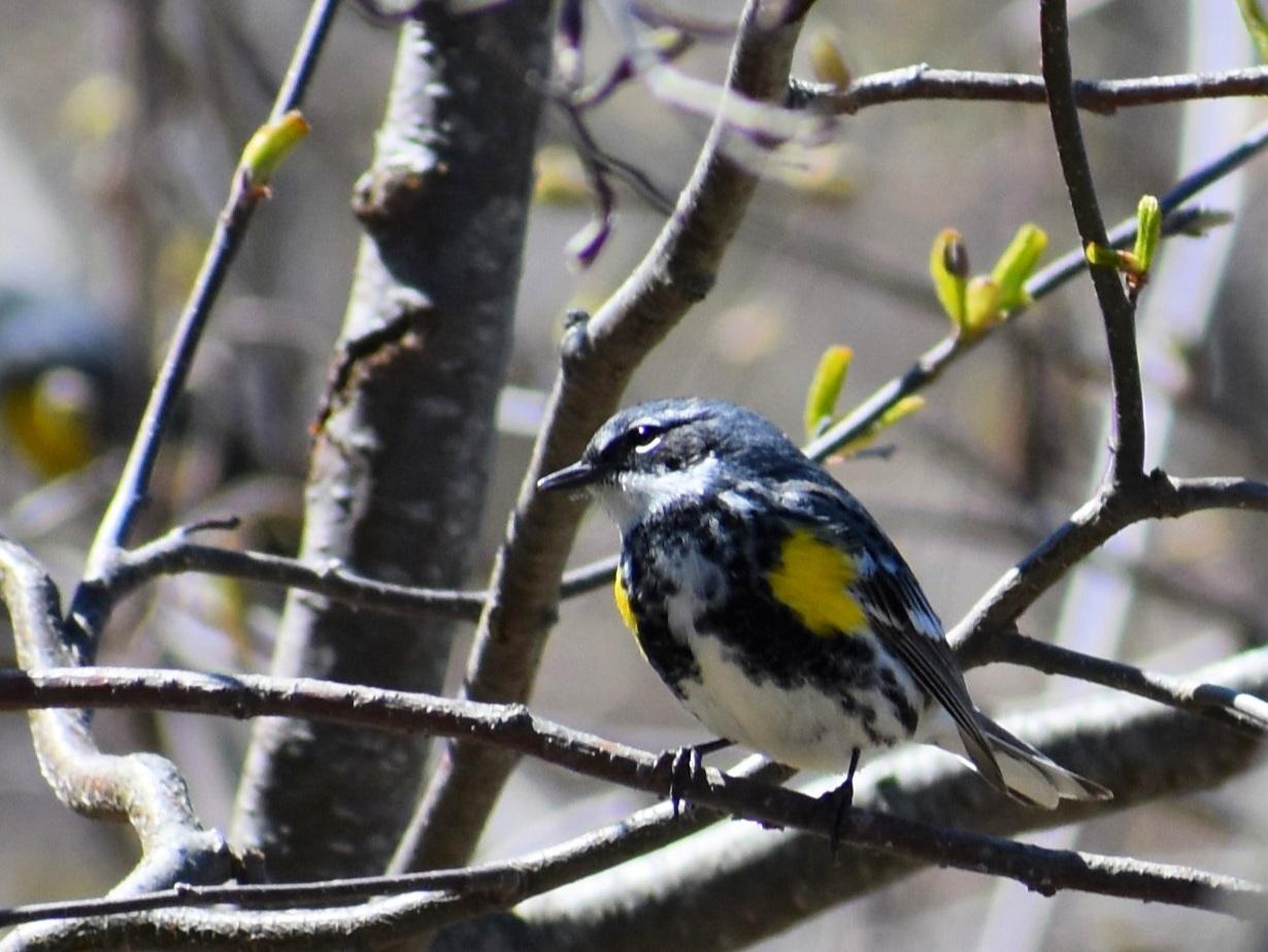 Yellow-rumped warbler, J. Brockway 2019