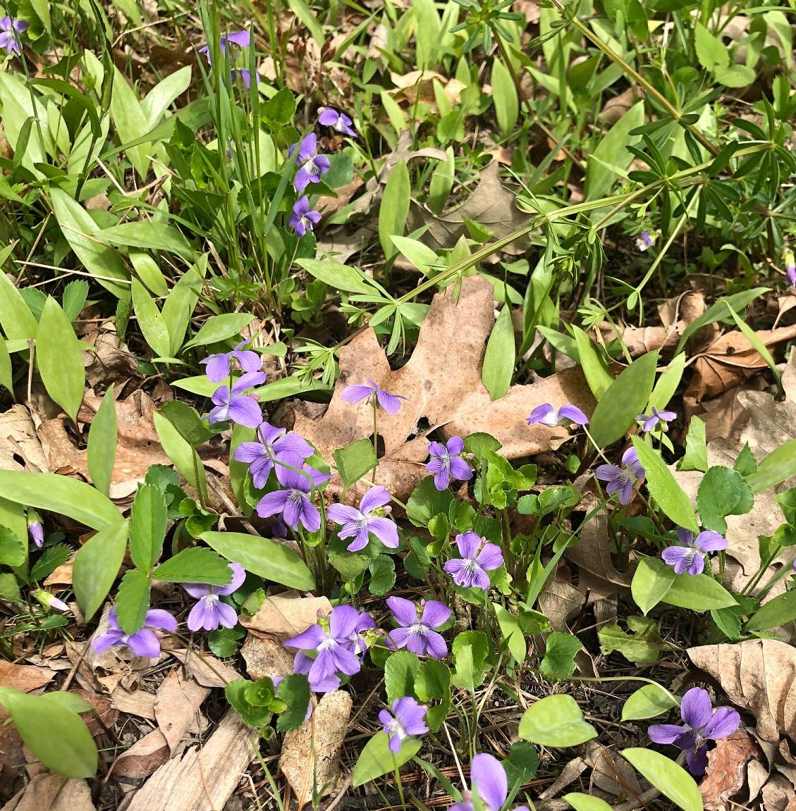 Common Blue Violet (Purple Violet, Woodland Violet)