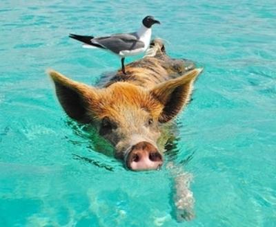 staniel-cay-swimming-pig-seagull-fish-66258.jpeg